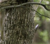 Brown Creeper - Iroquois NWR (RBA field trip) - © Rosemary Reilly - May 28, 2017