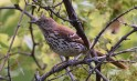 Brown Thrasher - Whiting Road Nature Preserve - © Dick Horsey - May 31, 2017