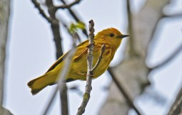 Yellow Warbler - Whiting Road Nature Preserve - © Dick Horsey - May 31, 2017