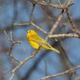 Yellow Warbler - Montezuma National Wildlife Refuge © D. Sherony