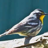 Yellow-throated Warbler (Male), Rush, NY (© Jay Greenberg)