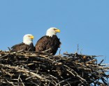 Bald Eagle on nest © Chuck Schleigh
