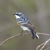 Yellow-rumped Warbler © Dominic Sherony