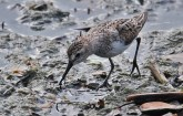 Semipalmated Sandpiper - Irondequoit Bay Outlet - © Dick Horsey - July 18, 2015