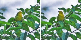 Yellow Warbler - White Brook Nature Area - © Dick Horsey - Aug 05, 2015