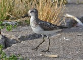 Semipalmated Sandpiper - Summerville Pier - © Peggy Mabb - Aug 08, 2015