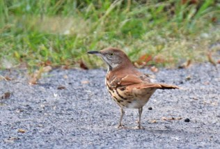 Brown Thrasher - Montezuma NWR - © Dick Horsey - Sep 05, 2015