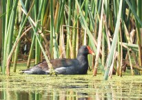 Common Moorhen - Montezuma NWR - © Dick Horsey - Sep 05, 2015