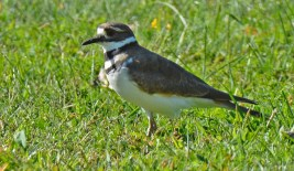 Killdeer - LaSalles Park - © Dick Horsey - Sep 16, 2015