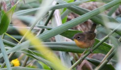 Common Yellowthroat - Montezuma NWR (Muckrace) - © Dick Horsey - Sep 19, 2015