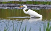 Great Egret - Montezuma NWR (Muckrace) - © Dick Horsey - Sep 19, 2015