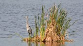Great Blue Heron - Montezuma NWR (RBA Field Trip) - © Dick Horsey - Sep 26, 2015