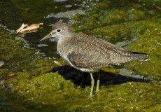 Solitary Sandpiper - Oatka Creek Park - © Jim Adams - Sep 27, 2015