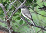 Eastern Phoebe - Burger Park - © Dick Horsey - Oct 01, 2015
