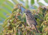 Song Sparrow - Irondequoit Bay Outlet - © Dick Horsey - Oct 10, 2015