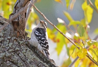 Downy Woodpecker - Irondequoit Bay Outlet - © Dick Horsey - Oct 10, 2015
