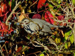 Gray Catbird - Oatka Creek Park - © Jim Adams - Oct 16, 2015