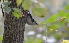 White-breasted Nuthatch - Hamlin Beach Park (RBA Field Trip) - © Dick Horsey - Oct 18, 2015