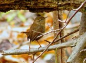 Winter Wren - Oatka Creek Park - © Jim Adams - Oct 18, 2015