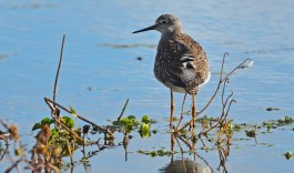 Lesser Yellowlegs - High Acres Nature Area - © Dick Horsey - Oct 23, 2015