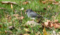 Dark-eyed Junco - Black Creek Park - © Dick Horsey - Oct 30, 2015