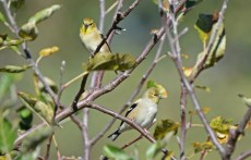 American Goldfinch - Hamlin Beach Park - © Dick Horsey - Nov 02, 2015