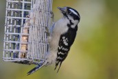 Downy Woodpecker (F) - Webster - © Peggy Mabb - Nov 03, 2015