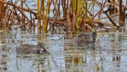 Blue-winged Teal (F) - Montezuma NWR - © Dick Horsey - Nov 05, 2015