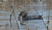 Pied-billed Grebe - Montezuma NWR - © Dick Horsey - Nov 05, 2015