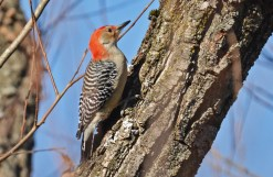 Red-bellied Woodpecker - Oatka Creek Park - © Dick Horsey - Nov 09, 2015