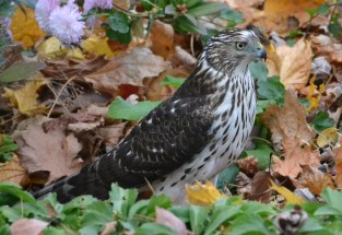 Cooper's Hawk - Webster - © Peggy Mabb - Nov 14, 2015