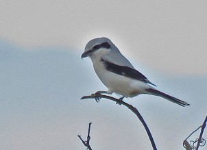 Northern Shrike - Black Creek Park - © Jim Adams - Nov 18, 2015
