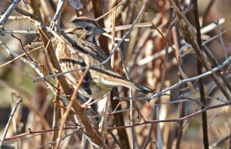 Song Sparrow - Webster Park - © Dick Horsey - Nov 30, 2015
