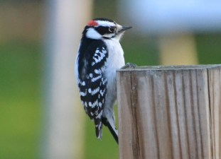 Downy Woodpecker - Webster - © Peggy Mabb - Nov 30, 2015