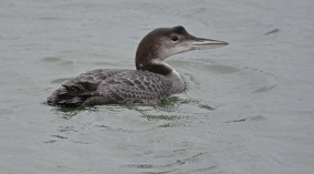 Common Loon - Irondequoit Bay Outlet - © Dick Horsey - Dec 21, 2015