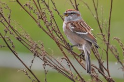 American Tree Sparrow - Irondequoit Bay Outlet - © Dick Horsey - Dec 21, 2015