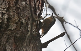 Red-breasted Nuthatch - Durand Eastman Park - © Dick Horsey - Dec 26, 2015