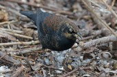 Rusty Blackbird - Mendon Ponds - © Dick Horsey - Jan 25, 2016