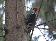 Pileated Woodpecker - Mendon Ponds - © Dick Horsey - Jan 25, 2016