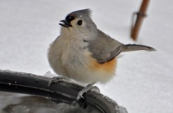 Tufted Titmouse - Webster - © Peggy Mabb - Feb 14, 2016