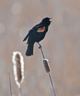 Red-winged Blackbird - Beatty Point - © Dick Horsey - Mar 17, 2016