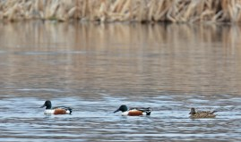 Northern Shoveler - High Acres Nature Area - © Dick Horsey - Mar 26, 2016