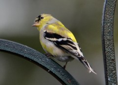 American Goldfinch - Webster - © Peggy Mabb - Mar 28, 2016