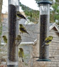 American Goldfinch - Irondequoit - © Candace Giles - Apr 12, 2016