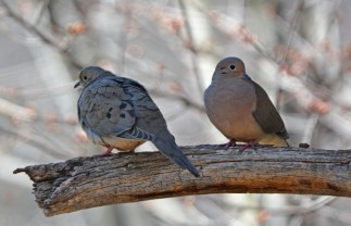 Mourning Dove - Durand Eastman Park - © Dick Horsey - Apr 15, 2016