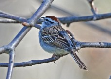 Chipping Sparrow - Highland Park - © Dick Horsey - Apr 18, 2016