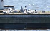 Bonaparte's Gull - North Marina - © Dick Horsey - Apr 20, 2016
