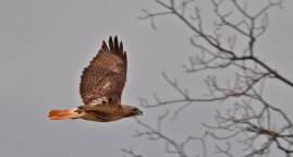 Red-tailed Hawk - Black Creek Park - © Dick Horsey - Apr 22, 2016