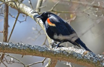 Red-winged Blackbird - Durand Eastman Park - © Dick Horsey - Apr 27, 2016