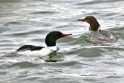 Common Merganser - Conesus Lake - © Jeanne Verhulst - Apr 07, 2016